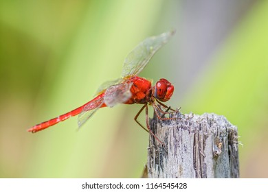 Scarlet skimmer - Crocothemis servilia, beautiful dragonfly from Sri Lankan lakes and rivers.