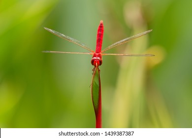 Scarlet skimmer or ruddy marsh skimmer - Crocothemis servilia a species of dragonfly of the family Libellulidae, native to east and southeast Asia and introduced to Jamaica, Florida, and Hawaii.