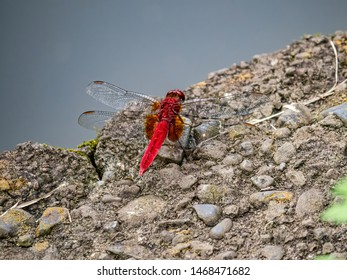 A scarlet skimmer or ruddy marsh skimmer, crocothemis servilia, resting beside a small pond in a Japanese park.
