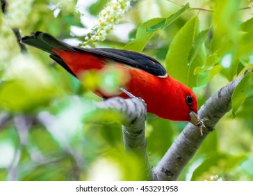 Scarlet Tanager with Bee