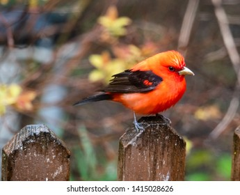Scarlet Tanager bird perched, soft de-focused background