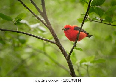 Scarlet Tanager bright red male breeding season