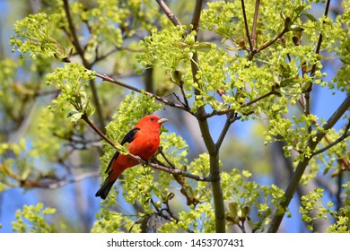 A Scarlet Tanager forages for a meal in a Norway Maple during its spring migration stopover at Toronto's popular Ashbridges Bay Park.