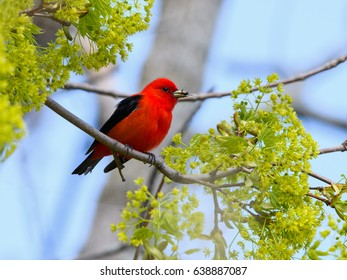 Scarlet Tanager with Grub