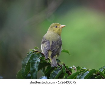 The scarlet tanager is a medium-sized American songbird. Until recently, it was placed in the tanager family,