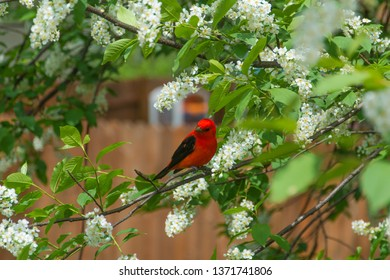 scarlet tanager on a bird cherry tree