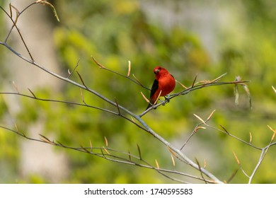 Scarlet Tanager perched on a branch - Piranga olivacea