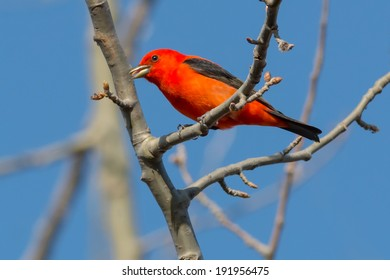 Scarlet Tanager perched on a branch.