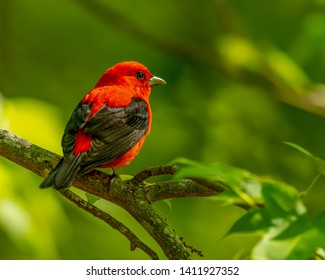 Scarlet Tanager perched on a tree branch in State Park of New Jersey