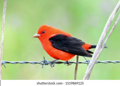 A Scarlet Tanager perches on a fence along the Texas Gulf coast during spring migration.