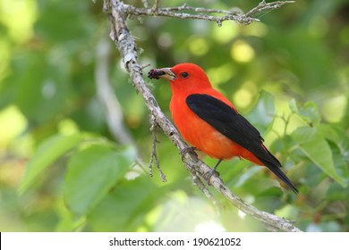 Scarlet Tanager (Piranga olivacea) Eating a Mulberry - High Island, Texas
