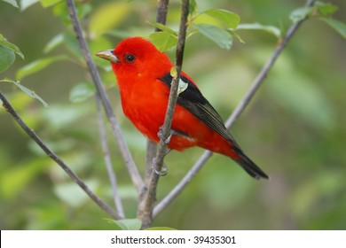 Scarlet Tanager (Piranga olivacea), male Spring migrant in breeding plumage.