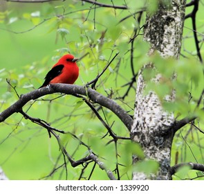 Scarlet Tanager in Portland Maine