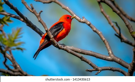 Scarlet Tanager resting on a perch during Spring migration at Magee Marsh Wildlife Area.
