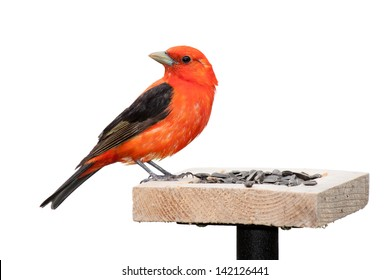 A scarlet tanager sits on a sunflower seed feeder.  Brilliant red plumage with  midnight black wings. The songbird is positioned with its turned ninety degrees opposite its body. White background.