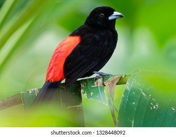 Scarlet-rumped Tanager - Ramphocelus passerinii medium-sized passerine bird. This tanager is a resident breeder in the Caribbean lowlands from southern Mexico to western Panama.
