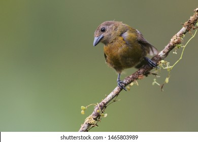Scarlet-rumped Tanager sitting on branch