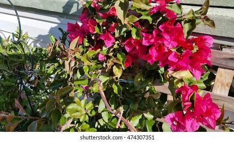 Scarlett bougainvilleas in garden