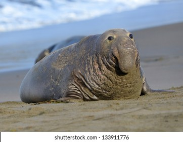 scarred adult elephant seal on beach, big sur, california