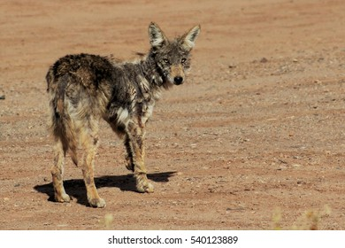 Scarred coyote looking at camera. Poblanos Fields Open Space, Albuquerque, New Mexico.