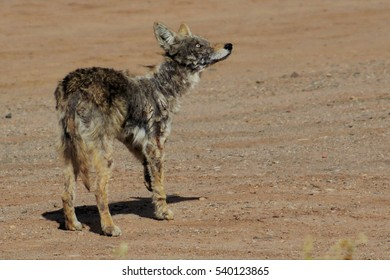 Scarred coyote looking up. Poblanos Fields Open Space, Albuquerque, New Mexico.
