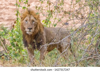 A scarred male lion with a mane, Panthera leo, looking at the camera
