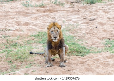 A scarred male lion with a mane, Panthera leo, doing his ablutions