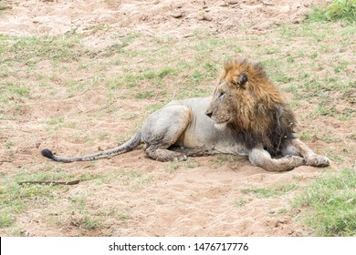 A scarred male lion with a mane, Panthera leo, looking back