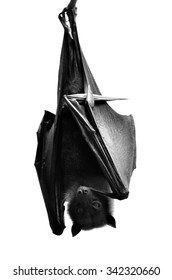 The scary black and white hanging flying fox or hyles bat, the big fruit bat hang his head downward isolated on white background