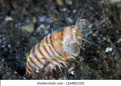 A scary Bobbit worm, Eunice aphroditois, appears out of its sandy lair in Lembeh Strait, Indonesia. This area is part of the Coral Triangle due to its amazing marine biodiversity.