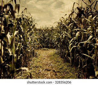 A scary corn field halloween background for a horror theme concept.