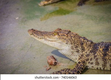 Scary crocodile is eating fresh meat in the farm. Crocodile farming for breeding and raising of crocodilians in order to produce crocodile and alligator meat, leather, and other goods.