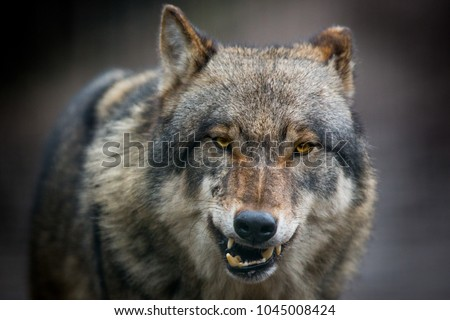 Scary dark gray wolf (Canis lupus)
