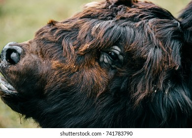 Scary fearful weird odd beast howling. Wild dangerous animal outdoor closeup portrait. Strong huge yak monster terrible jaws. Mouth wide opened. Buffalo teeth, mouth and tongue. Primal animal terror