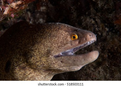 Scary and frightening looking giant Yellow-edged Moray (Gymnothorax flavimarginatus) close up macro portrait