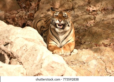 Scary look of Royal Bengal tiger which was about to give a big yawn showing scary eyes and teeth in ranthambhore national park