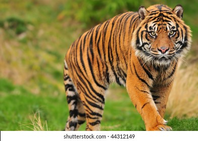 Scary looking male sumatran tiger coming straight towards you