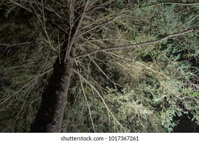 Scary and mysterious looking fir tree at night time, enlightened with white light from the ground