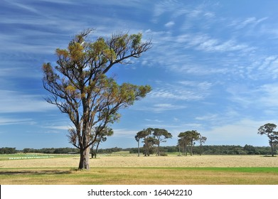 scattered hay rolls and cut hay with remnant gum trees