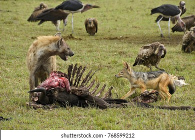 Scavengers (spotted hyena, black-backed jackal, vultures, marabou storks) at a wildebeest kill, Masai Mara Game Reserve, Kenya