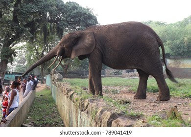 Scene in Abidjan zoo with the elephant called CAN. The children are feeding the elephant with leaves and banana. The animal is taking food with its trunk. Picture has been taken on 24th december 2015.