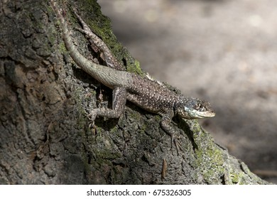 """Scene of a amazon lava lizard (Tropidurus torquatus)  that stands in a tree. The """"calango"""" is seen from above."""