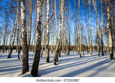 Scene of a beautiful evening at birch forest  at winter season with blue sku background
