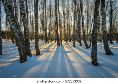 Scene of a beautiful sunset at birch forest with pines at winter season.