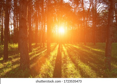 Scene of beautiful sunset or sunrise at spring-summer pine forest with trees,grass, footpath and young leaves. Landscape.