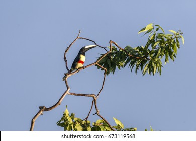 Scene of a Black-necked Aracari (Pteroglossus aracari) perched on a branch. The bird is perched on a branch high in the tree. The bird is close to several leaves.