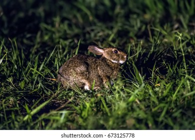Scene of a Brazilian cottontail or forest cottontail (Sylvilagus brasiliensis) in the middle of creeping plants. His body is turned to the right side.