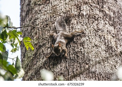Scene of a  Brazilian squirrel (Guerlinguetus ingrami) standing in a tree. Green leaves on the left side of the animal. A thin branch seen upon the squirrel.