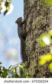 Scene of a Brazilian squirrel (Guerlinguetus ingrami) in a tree.