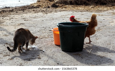 Scene with a cat and a chicken next to two buckets with milk. Cat sniffing the ground, chicken walking. Grey and white cat and red  chicken. Taken on an organic dairy farm in Michigan.
